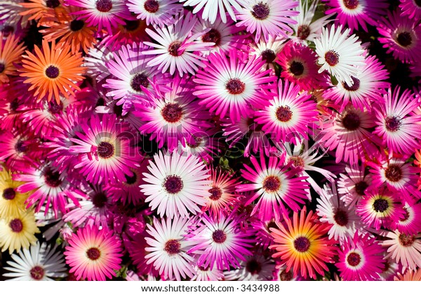 Colorful open ice plants in bright sunlight