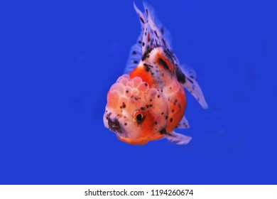 Colorful Gold Fish Fish Tank Carassius Stock Photo (Edit Now