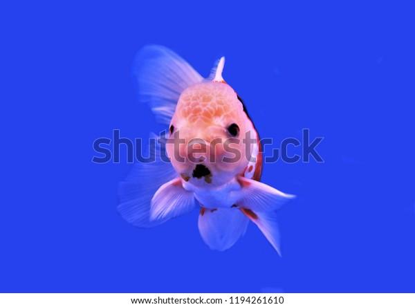 Colorful Oranda Goldfish On Isolated Blue Stock Photo (Edit Now