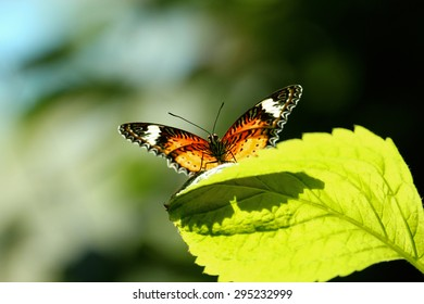 Colorful orange and black butterfly sitting on a green leaf.