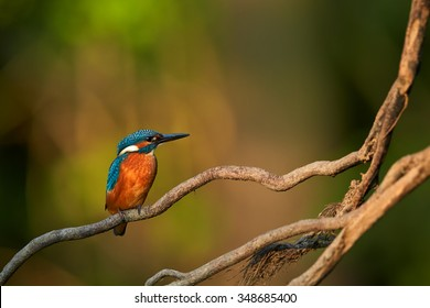 Colorful orange and blue Common Kingfisher  Alcedo atthis perched on twisted root , isolated on blurry  background. Golden ratio composition. Lit by late evening sun. Calm atmosphere.