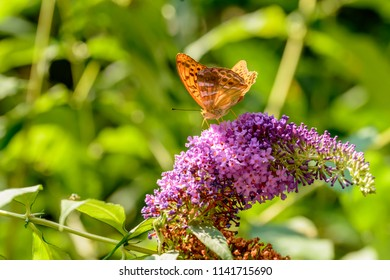 colorful orange butterfly on lilac flower