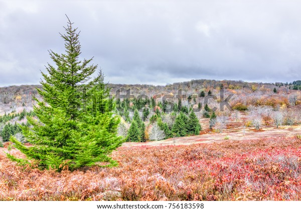 Colorful orange foliage fall autumn fern meadow field in Dolly Sods, West Virginia with one green pine tree