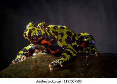 Colorful orange and green oriental fire belly toad in closeup macro
