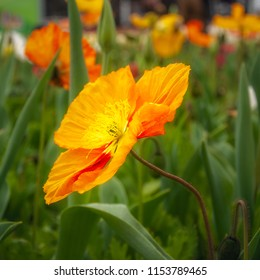 Colorful Orange Poppy in a field of flowers on a blurred background at Floriade Festival in Canberra in spring, Australian Capital Territory, Australia.