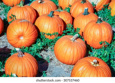 Colorful orange pumpkins in a pumpkin patch ready for Halloween.