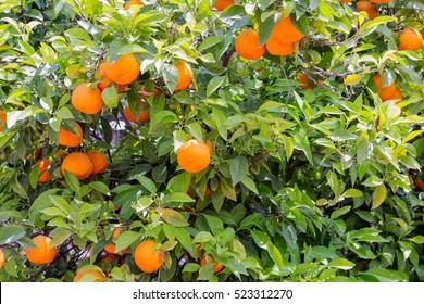 Colorful Orange tree at Sicilian Island