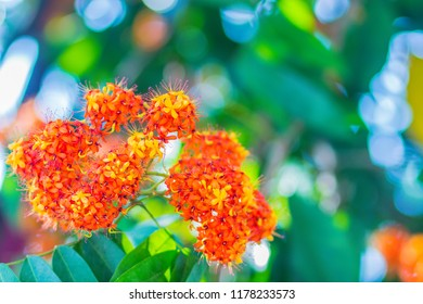 Colorful orange and yellow blooms of Saraca asoca (Saraca indica Linn) flowers on tree. Saraca indica Linn also known as asoka-tree, Ashok or simply Asoca. It is important tree in traditions of India.