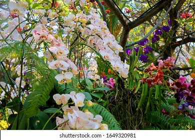 Colorful orchids in garden. Orchidaceae. orchids are available in pink, purple, and white. At Buak Hard Public Park Chiang Mai, Thailand. flowers bloom. springtime.