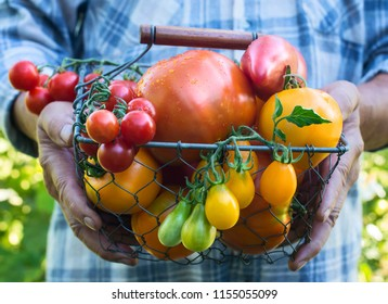 Colorful Organic Tomatoes in Farmers Hands. Fresh Organic Red Yellow Orange and Green Tomatoes of Different Kinds in Metal Basket.