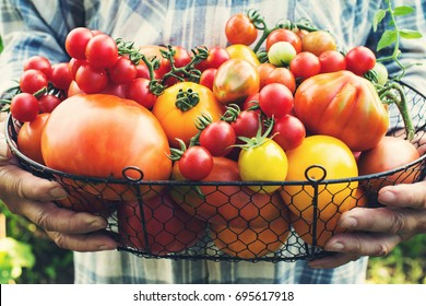 Colorful Organic Tomatoes in Farmers Hands. Fresh Organic Red Yellow Orange and Green Tomatoes in Basket.