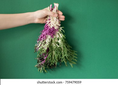 colorful ornamental cabbage in the hands of a girl
