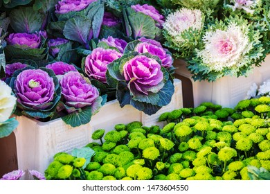 colorful ornamental cabbages in a flower shop