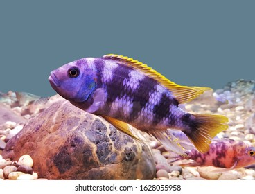 Colorful of ornamental fish, Malawi cichlid (Mbuna) in fish tank. Pseudotropheus is endemic to Lake Malawi. it is freshwater fish, an African cichlids in Cichlidae family.