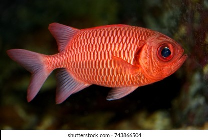 Colorful of ornamental  marine fish. The Big Eye Black Bar Soldierfish,Red soldierfish, Sargocentron rubrum,Holocentridae family, is one of the popular fish to show in marine aquarium tank.