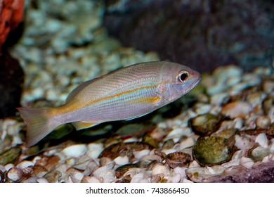 Colorful of ornamental  marine fish. The brownstripe red snapper,Broadband Seaperch, ,Lutjanus vitta,Lutjanidaee family, is one of the popular fish to show in marine aquarium tank.