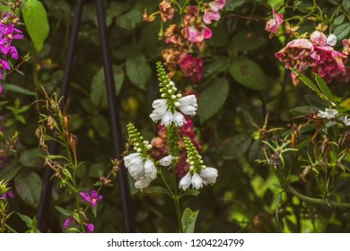 Colorful outdoor image of three blossoms of a green white false  dragonhead/obedient/obedience plant in front of a rose hedge with fading flowers in a summer garden