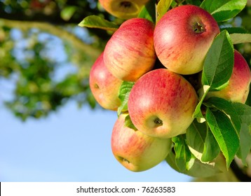 Colorful outdoor shot containing a bunch of red apples on a branch ready to be harvested