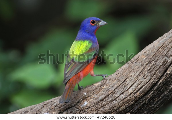 Colorful Painted Bunting (Passerina ciris) on a log