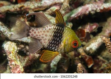 Colorful Pajama Cardinalfish (Sphaeramia nematopera)