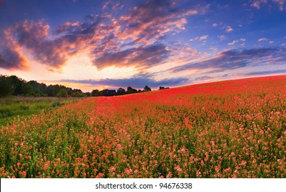 Colorful panorama with a field of red flowers. Sunset