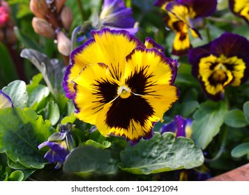 colorful pansy flower on background