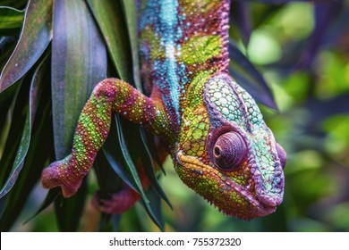 colorful  panther chameleon