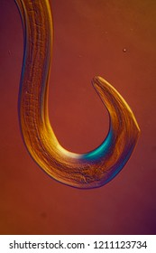 colorful parasitic hookworm 100x