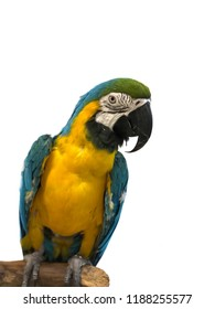 Colorful parrot Ara with bright plumage of blue, yellow, green and white color, sits on barling. Macaw close-up on light background