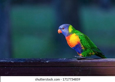 A Colorful Parrot In Australia