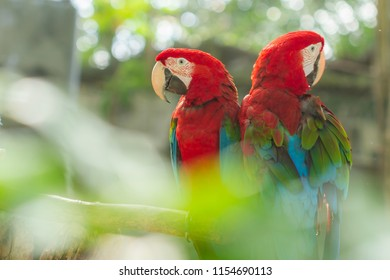 Colorful parrot bird,Red and Green macaw