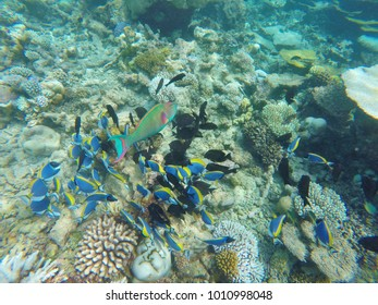 Colorful parrot fish on the coral reef, Maafushivaru island, Ari Atoll, Maldives