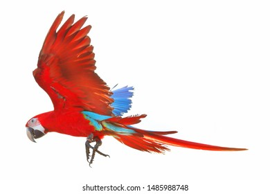 Colorful parrot flying isolated on white background.