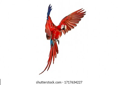 Colorful parrot flying isolated on white.