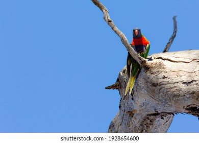 Colorful parrot looking down from a tree branch, blue sky background