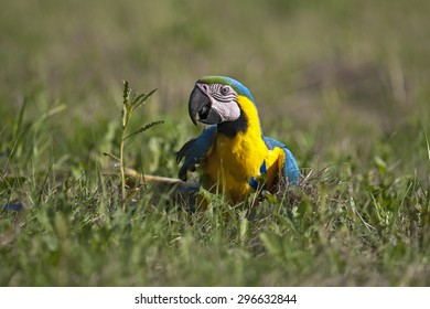 A colorful parrot sitting in the grass