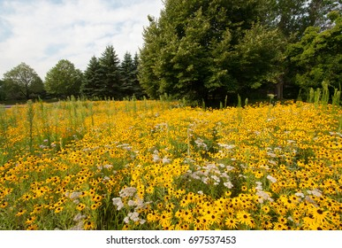 Colorful patch of black-eyed Susans (rudbeckia hirta) with trees in the background