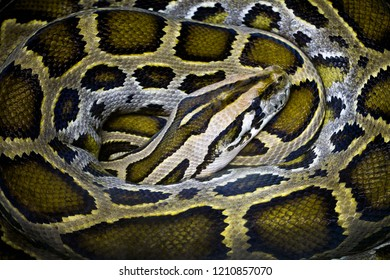 Colorful patterns of pythons.