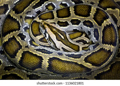 Colorful patterns and skin of python