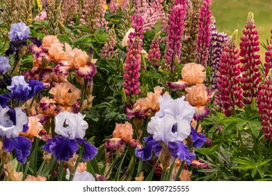 Colorful Peach and Purple, Blue and White Bearded Iris and Red Lupine Blooming in Garden