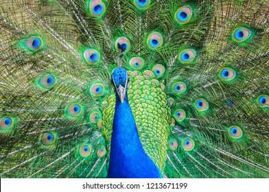 Colorful peacock with beautyful fully opened tail