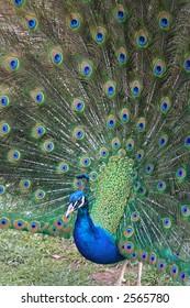 Colorful peacock displaying plumage