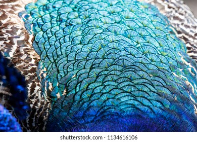colorful Peacock feathers for background close up shot