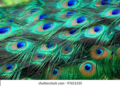 Colorful peacock feathers,Shallow Dof.