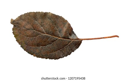 Colorful pear tree autumn leaves  isolated on white.  Autumn leaves of pear tree colored. Autumn leaf of pear tree isolated. Dry leaf background.