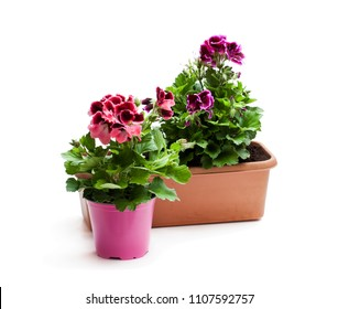 Colorful  Pelargonium flowers in flowerpot isolated on white. Ready for planting.