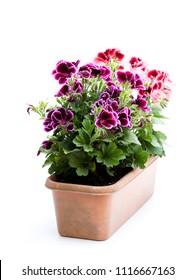 Colorful Pelargonium flowers in rectangular flowerpot isolated on white