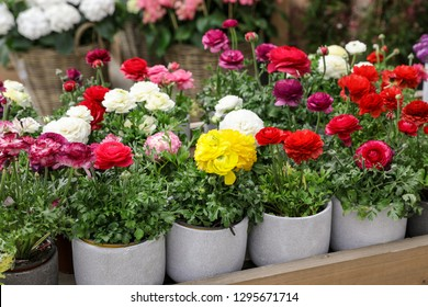 Colorful persian buttercup flowers or Ranunculus asiaticus potted for sale in the garden shop. Horizontal. Close-up.