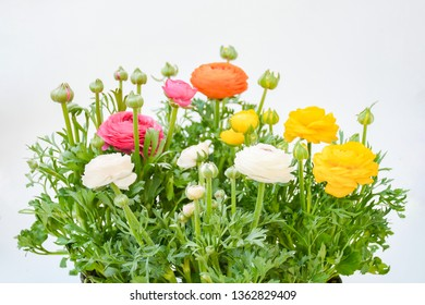 Colorful persian buttercup flowers or Ranunculus asiaticus with green leaves on white background