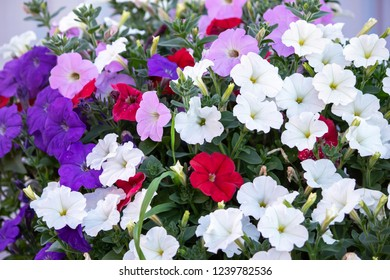 Colorful Petunia, beautiful flowers in the garden